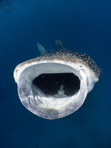 Can a whale shark swallow a human quora for The fish that ate the whale