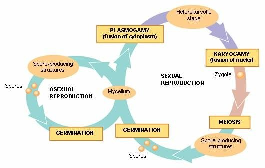 Mold spores asexual reproduction advantages