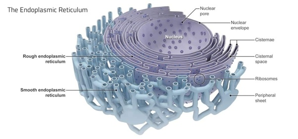 Is The Endoplasmic Reticulum Always Attached To The