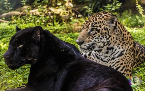 is a panther really a jaguar? - quora