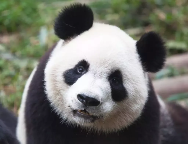 Is it legal to own a panda? - Quora
