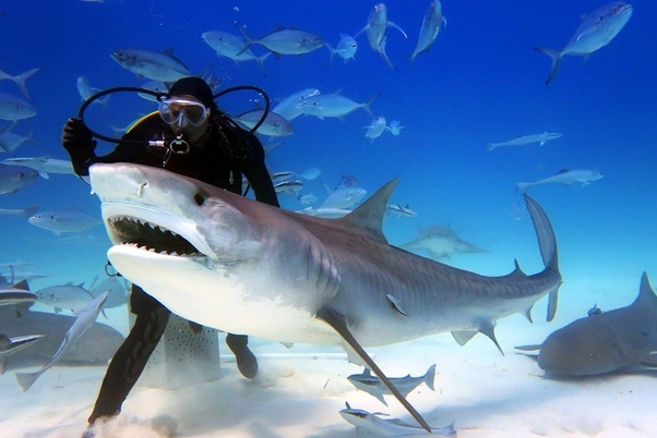 What is the difference between a tiger shark and a great