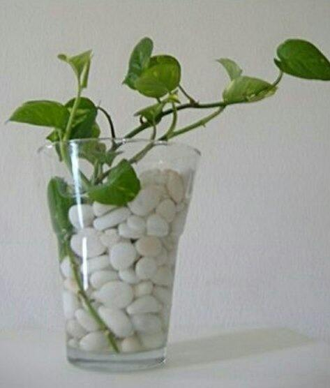 How To Care For A Money Plant Growing Indoors In Water Quora