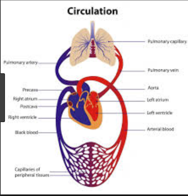 Cow heart diagram free download wiring diagram do cows really have four hearts quora but their heart is divided in four chambers like all mammals and humans cow heart diagram rabbit heart diagram ccuart Choice Image