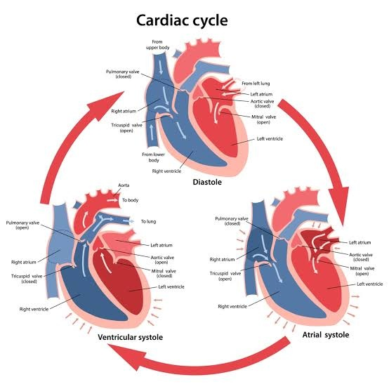 What is cardiac cycle? - Quora