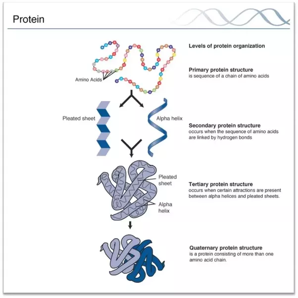 Simple Protein Diagram