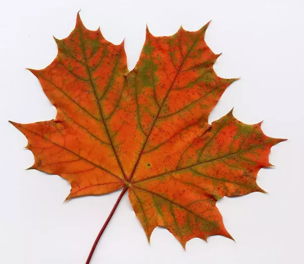What Is The Name Of The Leaf Which Is Represented On The Canadian