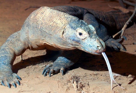 What Is The Difference Between A Komodo Dragon And A Monitor Lizard Quora
