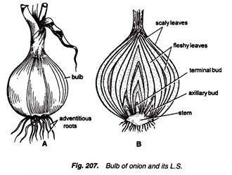 what is the edible part of onion  leaf base or scale