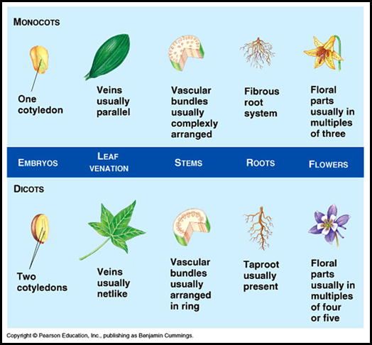 What are the similarities between monocot and dicot ... 10 Examples Of Monocot Plants