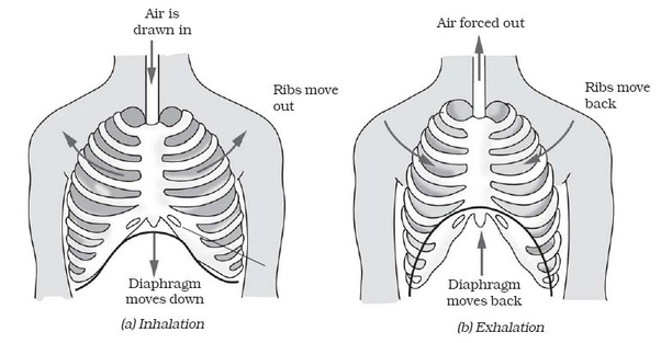 What is the function of the diaphragm in the respiratory ...