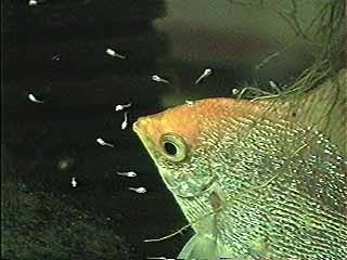 Do Other Fish Eat Angel Fish Eggs Quora,Types Of Shrubs In New England