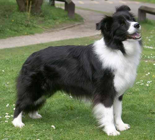 About Us Overdrive Border Collies