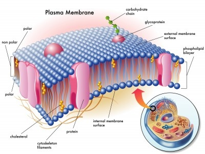 What are the components of a plasma membrane? - Quora