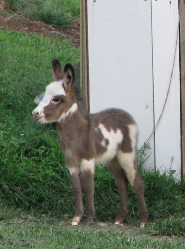 what does the foal of a donkey look like quora