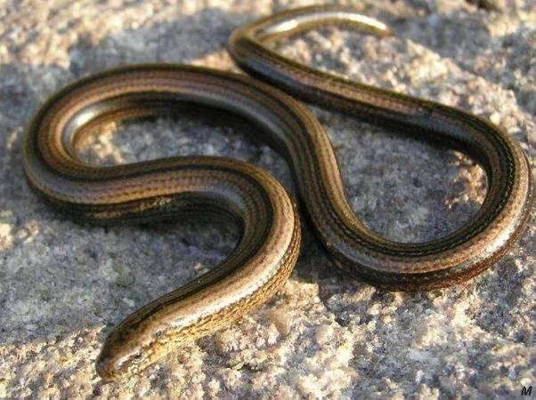 Snake Deutsch