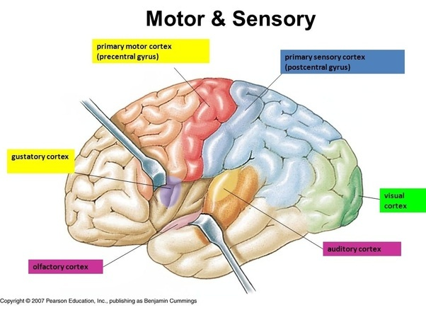 How do the motor cortex and sensory cortex differ? - Quora