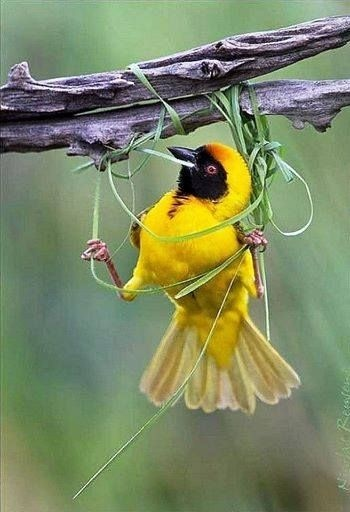 If A Bird Had Never Seen A Nest Would It Know How To Build One