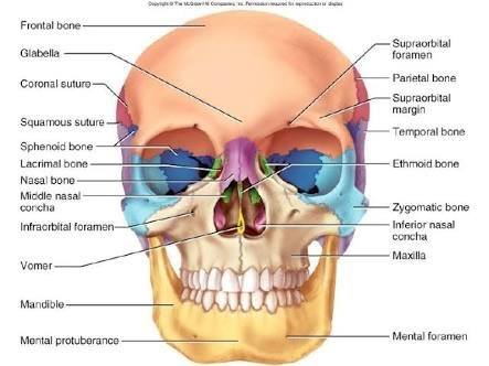 how many bones are present in the human skull quora