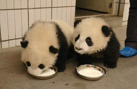 What Do Baby Pandas Eat In Captivity Quora