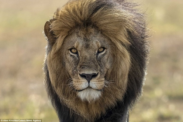 Why Are Lions Considered To Be Courageousreal Life Examples Will Be