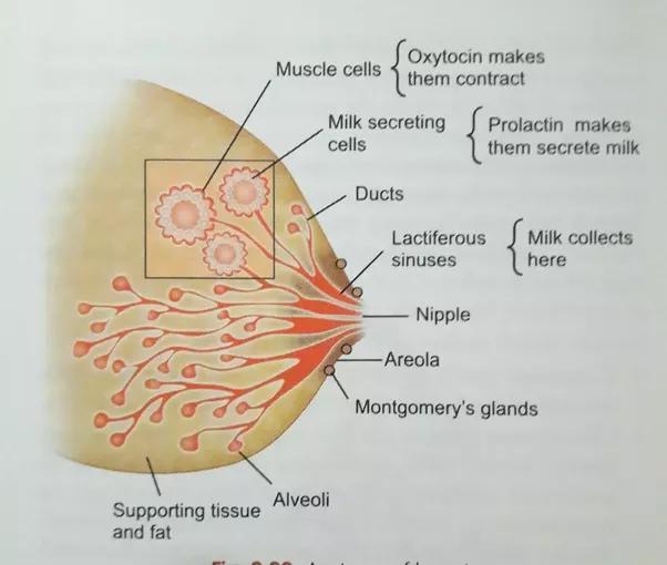 Kako nastaja mleko v dojki - Quora-5827