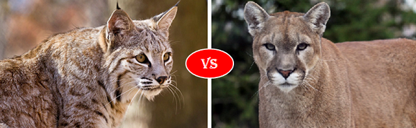 lynx vs puma