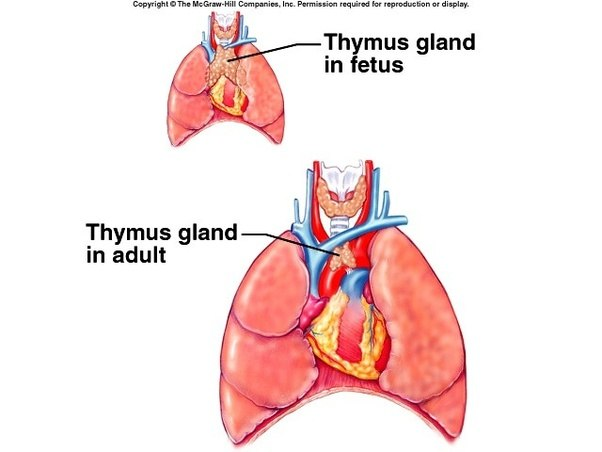 How does the thymus turn into fat biologically? - Quora