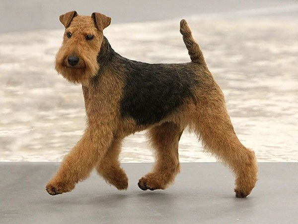 Is There A Miniature Airedale Terrier