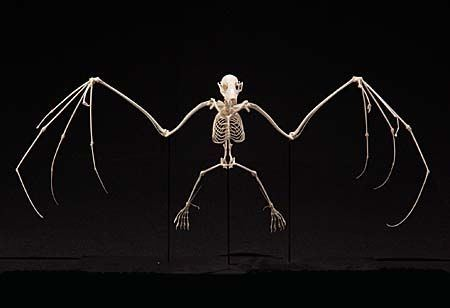 Bat wing skeleton - photo#46