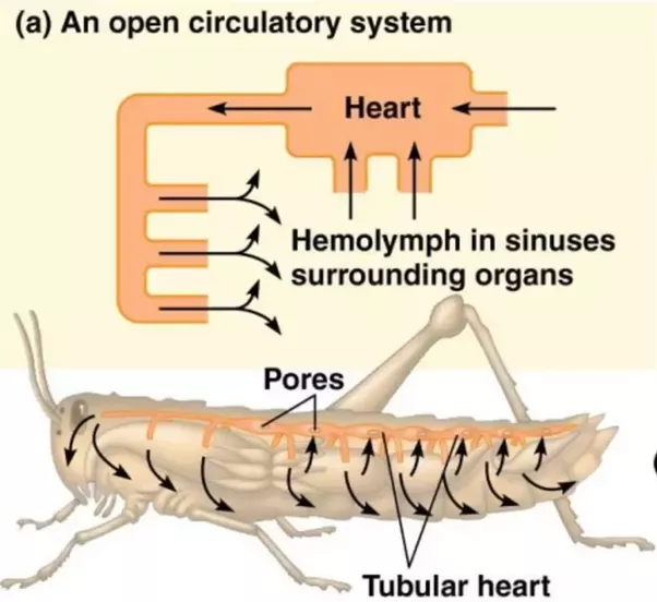 How would humans \'work\' with open circulatory system and bug blood ...