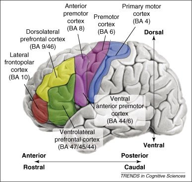 What are the main parts of the prefrontal cortex quora the prefrontal cortex can be divided into specific broadmann areas but that can get confusing i think it is easier to think of the pfc as being composed ccuart Gallery