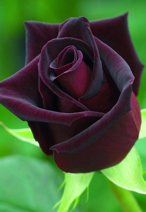 Where Does The Black Rose Grow Quora