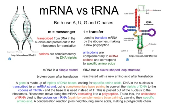 what are the similarities and differences between the ... amino acids rna diagram hairpin rna diagram #4
