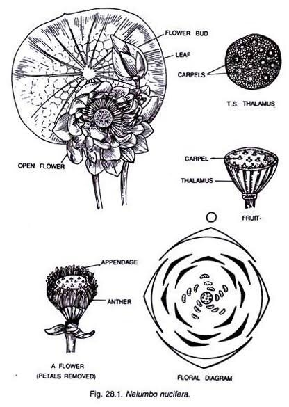 Rosaceae Family Floral Diagram