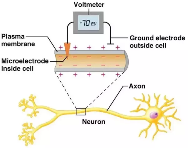 What are the basics of brain slice electrophysiology quora the number the voltmeter spits out is then your resting membrane potential here is a little schematic i found online ccuart Choice Image