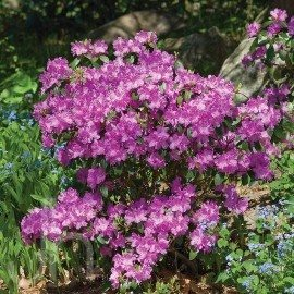 What is this bush with clusters of purple flowers in spring quora sounds like it could be a small leaf pjm rhododendron does it look like this the home depot garden club mightylinksfo