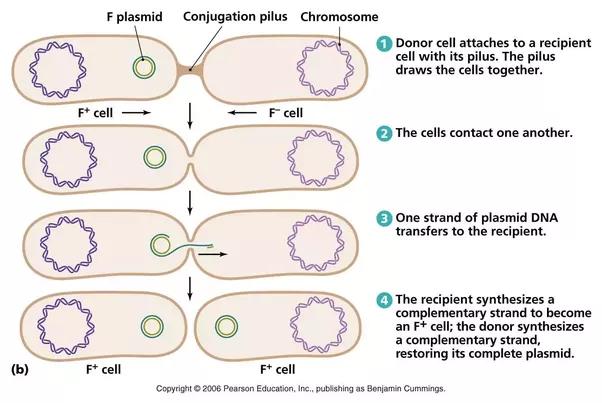 How does horizontal gene transfer work   Quora
