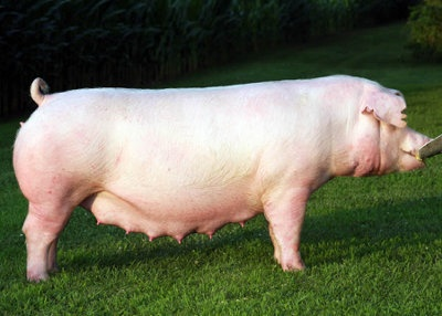 what is the breed of the large white pig quora