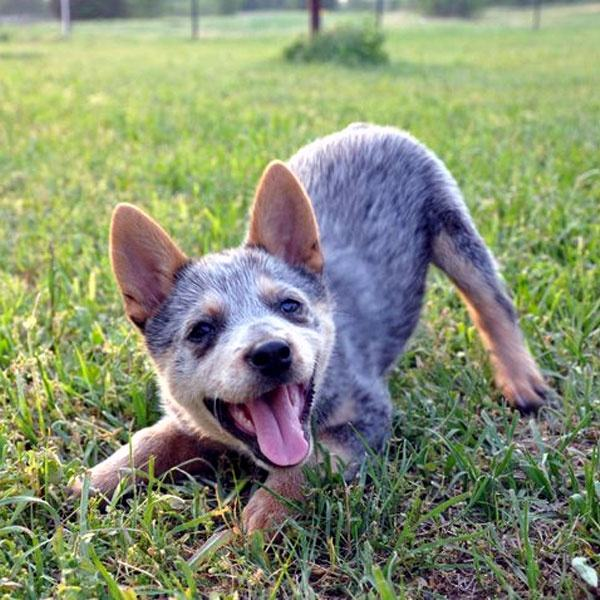 How To Train A Cattle Dog Puppy