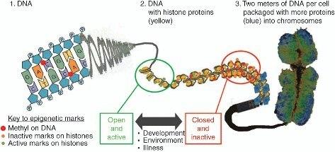 How can the chromatin ...