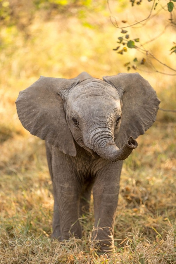 What do baby african elephants look like quora - Cute elephant pictures ...