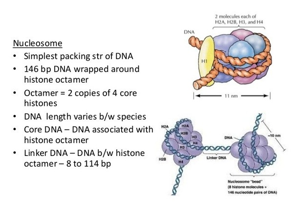 how do histones bind to dna  why must they do this