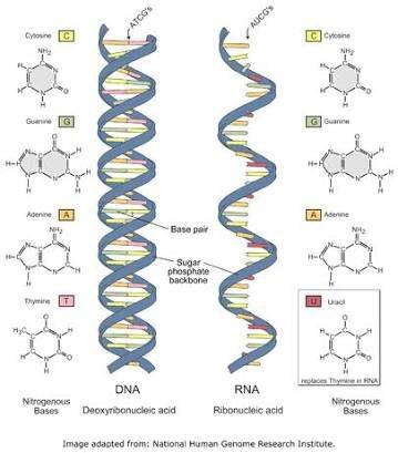 What Are The Differences Between Dna And Rna Quora