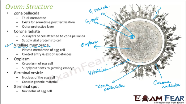 What Is The Order Of The Following Layers In Human Egg Zona Pellucida Corona Radiata And Vitelline Membrane Quora
