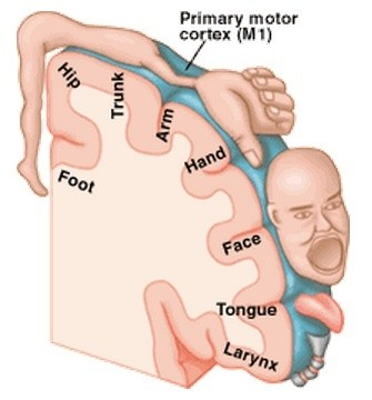 Why Is The Primary Motor Cortex In The Cortex And Not In An Older