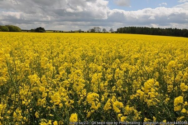 What are the yellow fields in the uk quora oil seed rape crop c philip halling snowshill gloucestershire mightylinksfo