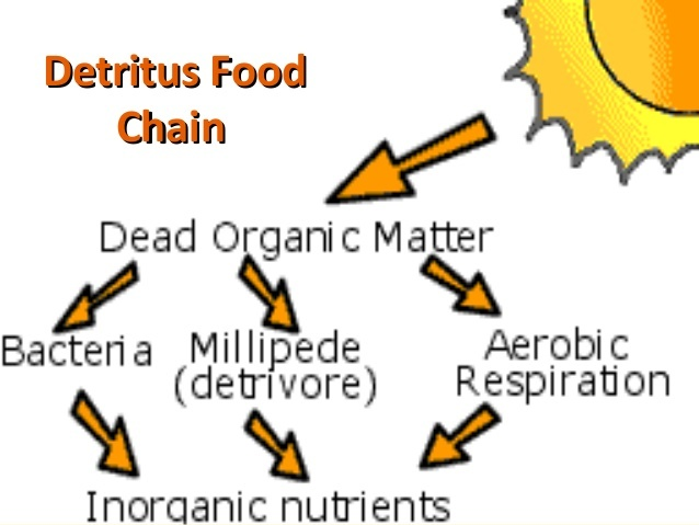 What Is A Detritus Food Chain Quora