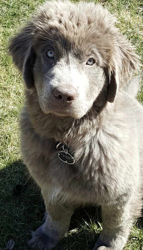 Newfoundland Dogs Ever White In Color