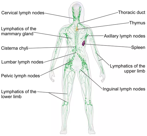 How To Treat Lymph Nodes In Your Legs Quora